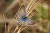 J01_2356 Long-tailed Blue